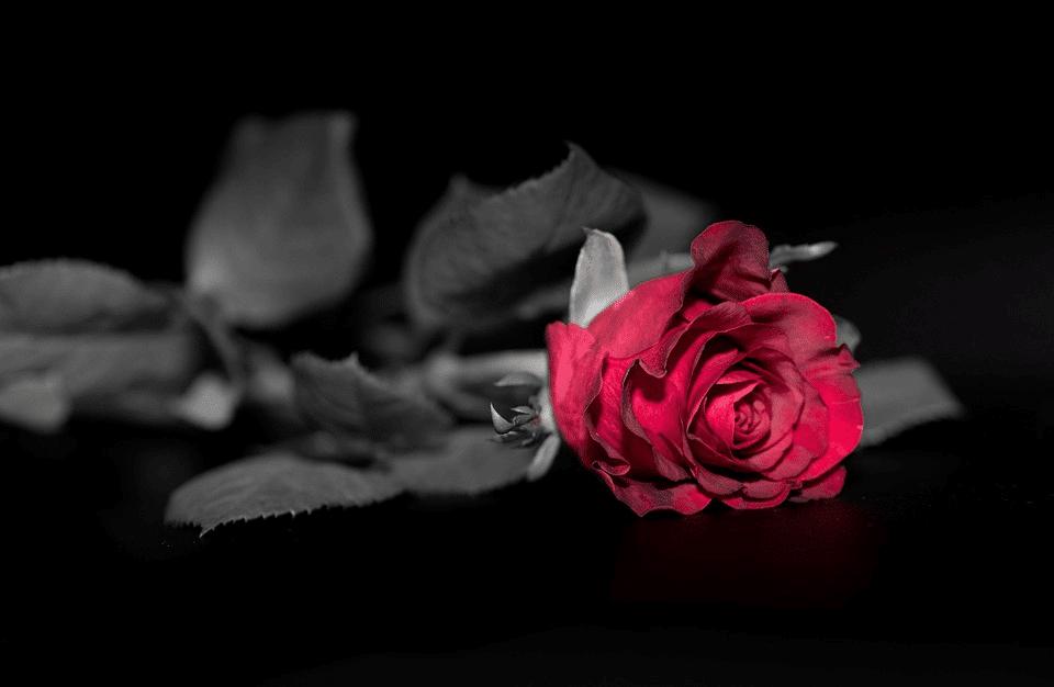 Black rose backdrop