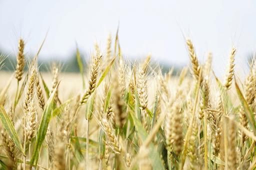 Wheatfield under a gray sky