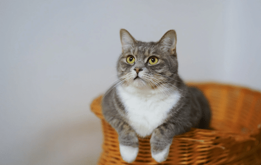 White and gray cat in a brown woven basket